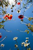 Daisies And Poppies Against The Blue