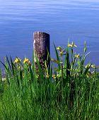 Pole And Yellow Irises By Lake