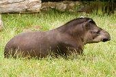 recumbent tapir