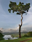 Big tree on the brae bank of Nile