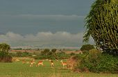 Herd of antelopes in african savanna