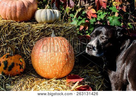 poster of Beautiful Dog Thanksgiving Dog Or Halloween Dog And Pet Safety Conceptual Photography Background Wit