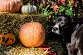 Beautiful Dog Thanksgiving Dog Or Halloween Dog And Pet Safety Conceptual Photography Background Wit poster