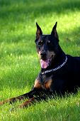 foto of doberman pinscher  - Doberman Pinscher laying in the green grass - JPG