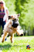 Running dog on grass catch ball (Irish soft coated wheaten terrier)