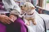 Therapy Pet On Couch Next To Elderly Person In Retirement Rest Home For Seniors - Dog Is Looking At  poster
