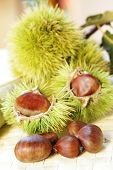 Sweet chestnuts on the branch