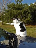 Brazen cat on a car leaving his pawprints