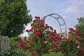 A climbing rose on an arbour in a northern garden.