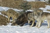 Gray Wolves On Kill