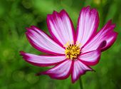 foto of cosmos flowers  - Single cosmos flower with selective focus and shallow depth of field - JPG