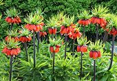 Orange crown imperial flowers (Fritillaria imperialis)