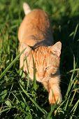 An Orange Kitten Hunting For Prey