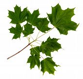 Maple Branch On White Background. Green Maple Leaves. Isolated Branch Of A Maple. poster