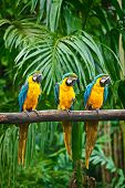 Blue-and-Yellow Macaw (Ara ararauna), also known as the Blue-and-Gold Macaw poster