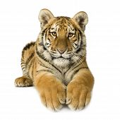 picture of white tiger cub  - Tiger cub  - JPG