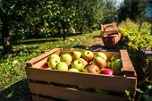Fresh Organic Apples Are In Wooden Crate On Harvest Day. poster