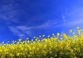 rapeseed background