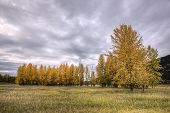 Trees In Autumn Under A Cloudy Sky. A Cluster Of Trees With Yellow Leaves In Fall At The Kootenai Wi poster