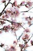stock photo of cherry trees  - spring cherry tree blossom - JPG