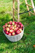 Apples Red Ripe Fruits Basket On Grass Near Ladder. Apple Harvest Concept. Ripe Organic Fruits In Ga poster