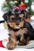 Little and cute puppies at christmas ambiance