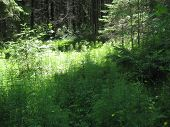 In The Middle Of The Taiga-sunny Glade.  In A Clearing There Are Various Herbs And Clearly Stands Ou poster