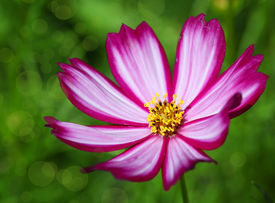 picture of cosmos flowers  - Single cosmos flower with selective focus and shallow depth of field - JPG