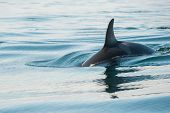 foto of orca  - orca whale in open sea - JPG