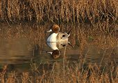 stock photo of pintail  - Northern Pintail reflection in San Elijo Lagoon - JPG