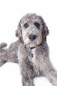 picture of cross-breeding  - Studio shot of a mixed breed Great Dane Poodle cross on a white background - JPG