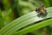 hoverfly sitting on grass, mimicry in insects hover fly