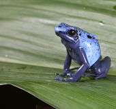 Azul Dendrobatidae frog dendrobates azureus, espécies de anfíbios ameaçadas de extinção da floresta tropical Amazônica