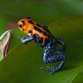 poison frog bright red and blue legs in amazon rain forest in Peru, poisonous animal of tropical rai