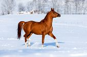 Arabian chestnut horse trotting in winter