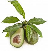 stock photo of avocado tree  - Avocado fruits with young leaves from Avocado tree - JPG