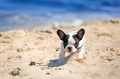 French bulldog puppy running on the beach