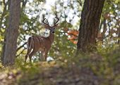 picture of antlered  - A young mule deer buck walking in the woods - JPG