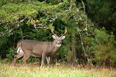 foto of buck  - Large white-tailed deer buck in Smoky Mountain National Park