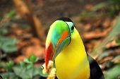 The Rainbow Toucan