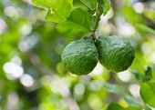 Leech Lime Or Bergamot