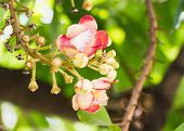 stock photo of cannonball  - Shorea robusta or Cannonball flower from the tree - JPG