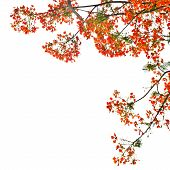 image of royal botanic gardens  - Flame Tree or Royal Poinciana Tree on white background can be used for background - JPG