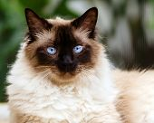 stock photo of claw  - Portrait of relaxed content Himalayan cat outdoors - JPG