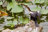 Anhinga (Anhinga anhinga) in Lakeland Florida, America