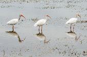 Three white ibis, Eudocimus albus, birds lined up while feeding in lake
