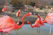 stock photo of red-necked  - Bright red flamingo birds - JPG