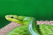 stock photo of jungle snake  - Beauty green snake close up on green backdrop - JPG