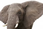 stock photo of elephant ear  - Close up of an African elephant isolated on a white background - JPG