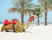 stock photo of hump day  - Camel resting in shadow on the beachin a sunny day - JPG